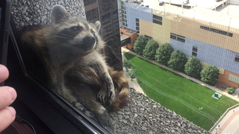 A raccoon sits on a window sill of the UBS Plaza building in St. Paul