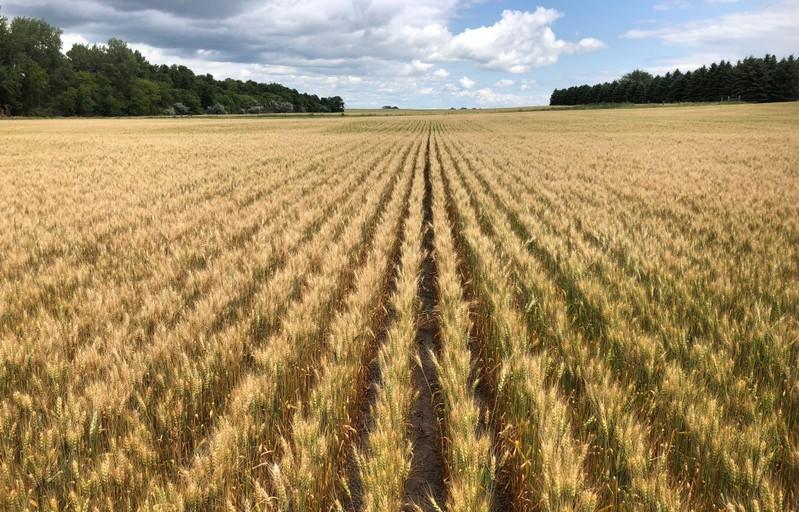 Spring wheat field in north-central North Dakota