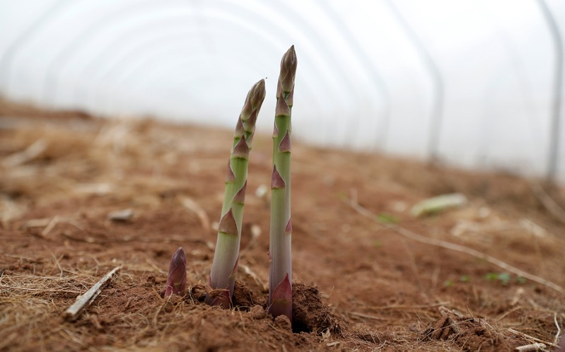Asparagus ready for picking is seen in a growing tunnel at Cobrey Farm in Ross-on-Wye