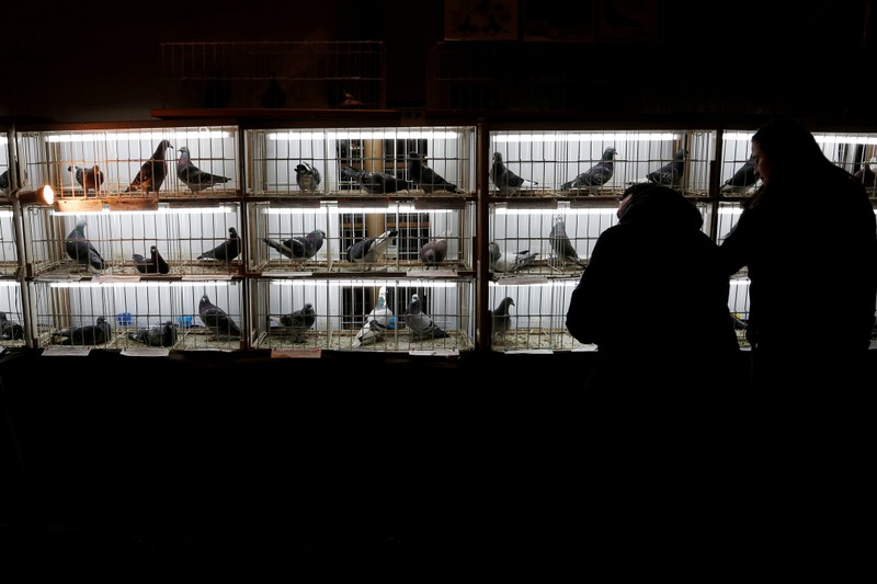 FILE PHOTO: Racing pigeons are displayed for sale at the Pigeon Olympiad 2017 in Brussels