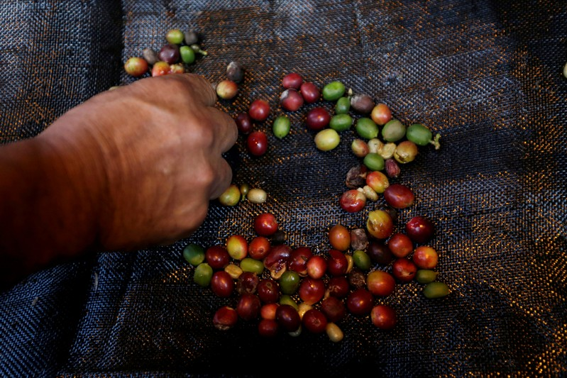 FILE PHOTO: A coffee grower selects coffee fruits on a canvas in Chinchina