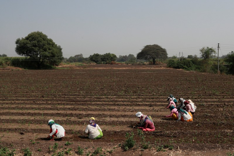 Women labourers work in a pearl millet field at Narayangaon