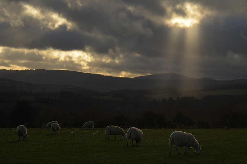 Sheep graze on grass and hay on a farm near the County Wicklow village of Roundwood