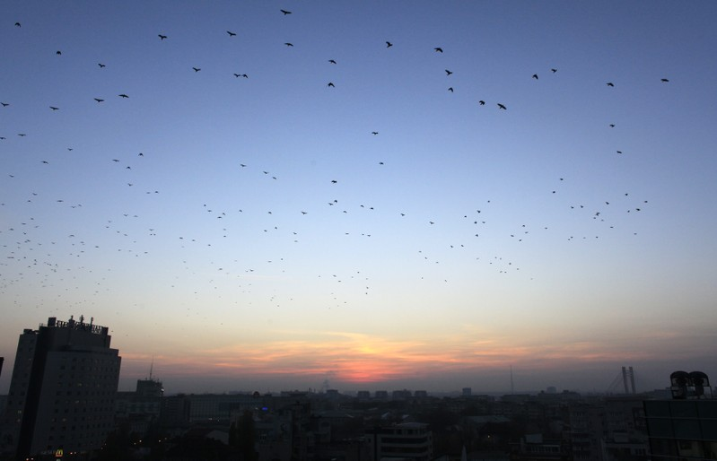 Thousands of crows fly at dusk over the city skyline in Bucharest
