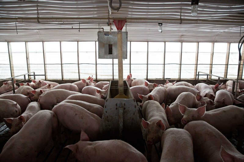 Pigs nearing market weight stand in pens at Duncan Farms in Polo