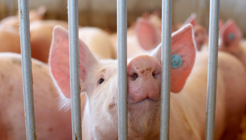 A pig is seen in an enclosure at a pig farm in Alling