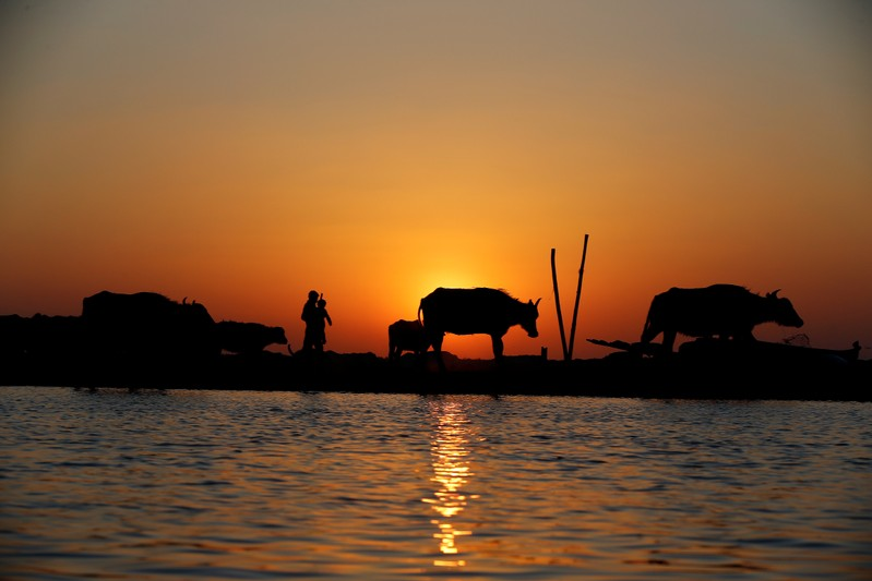 A flock of buffaloes is seen during the sunset at the Chebayesh marsh in Dhi Qar province