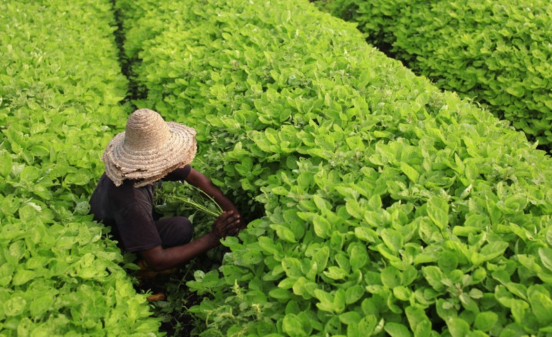 A farmer works in a vegetable field at his farm in Klang, outside Kuala Lumpur