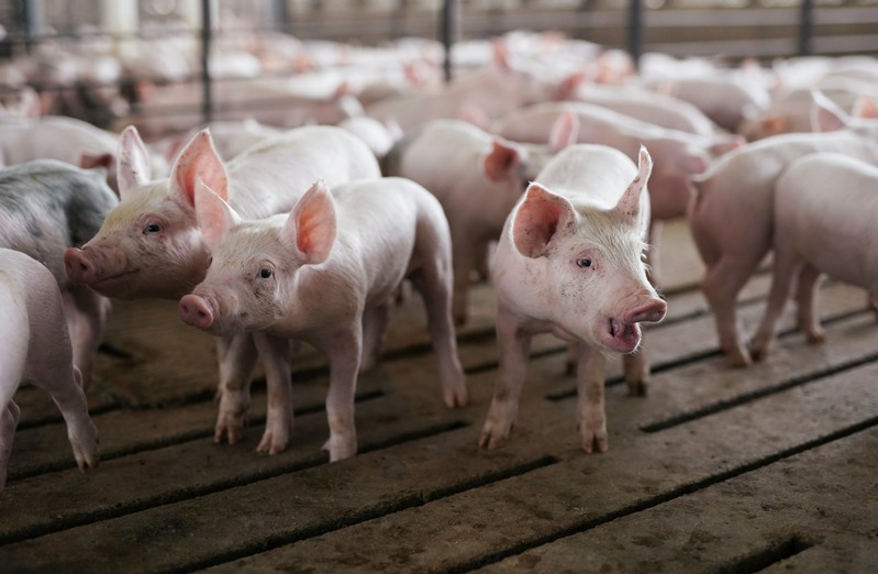 Pen of young pigs during a tour of a hog farm in Ryan