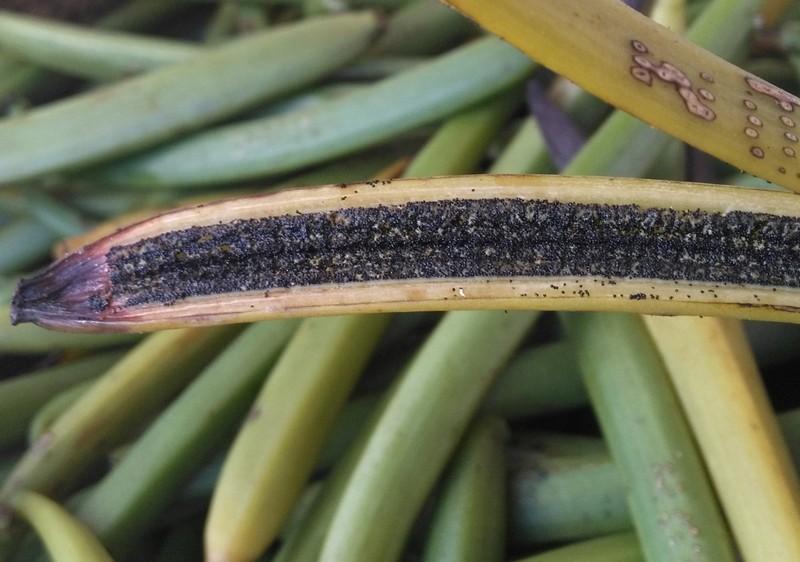 FILE PHOTO: Fresh vanilla pods are seen at a plantation in Ambavala, near Andapa