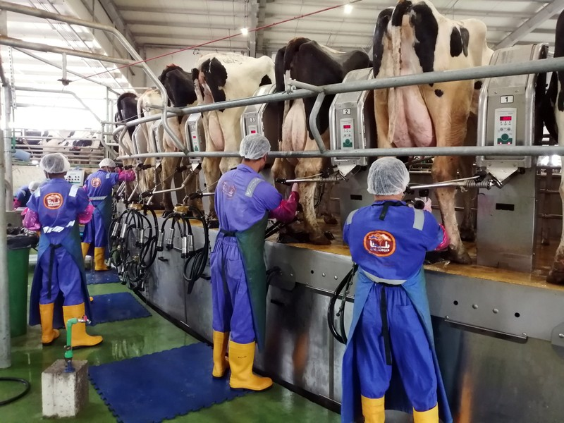 Workers milk cows using milking machines at Baladna farm in the city of Al-Khor