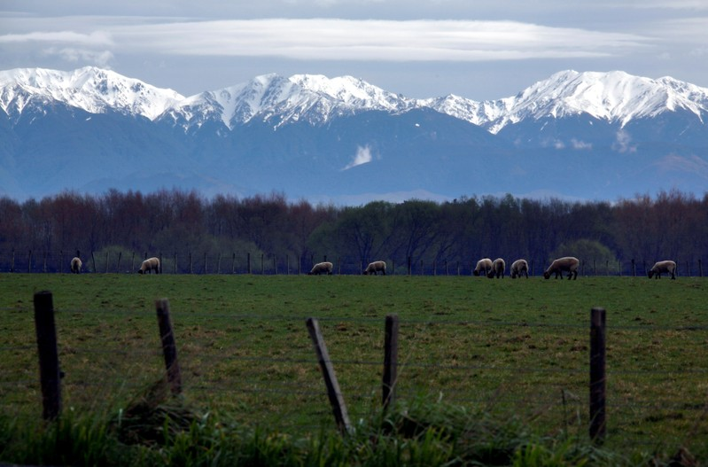 FILE PHOTO: Sheep graze at a paddock in front of the snow-covered Tararua mountain range on the outskirts of the town of Palmerston North