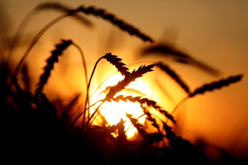 FILE PHOTO: A view shows ears of wheat in a field near Krasnoyarsk
