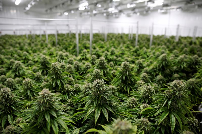 FILE PHOTO: Chemdawg marijuana plants grow at a facility