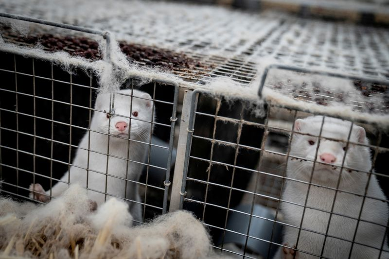 FILE PHOTO: Denmark mink culling process