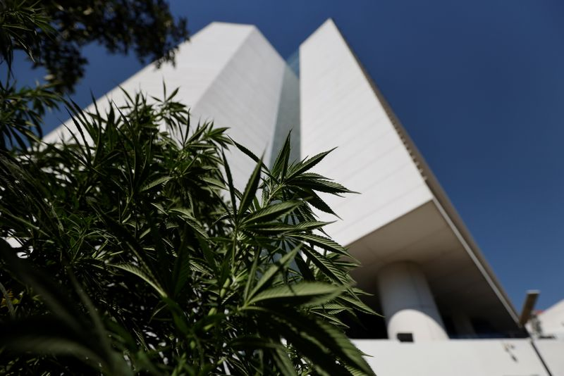 Marijuana leaves are seen next to Mexico's Senate building  at the protest cannabis garden of the Cannabico Mexican Movement